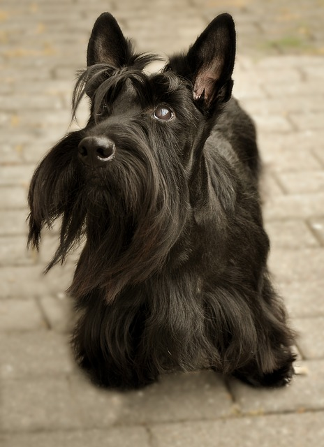 Do it Yourself: Groom Your Scottish Terrier at Home