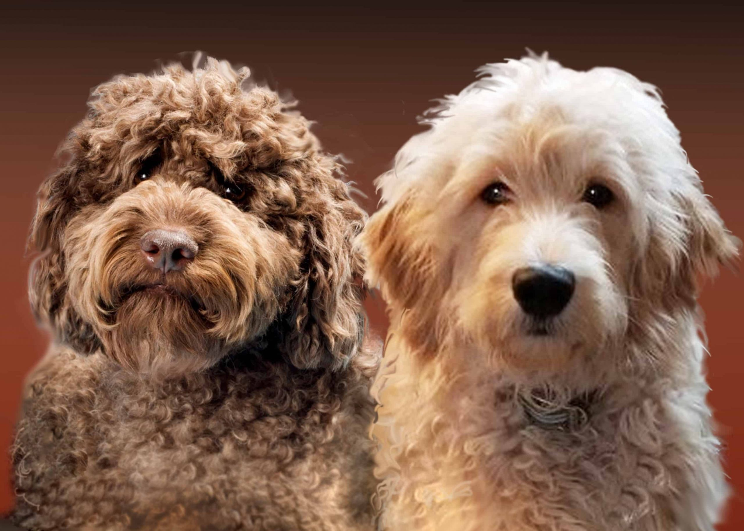What To Consider While Buying a Goldendoodle From Sale?
