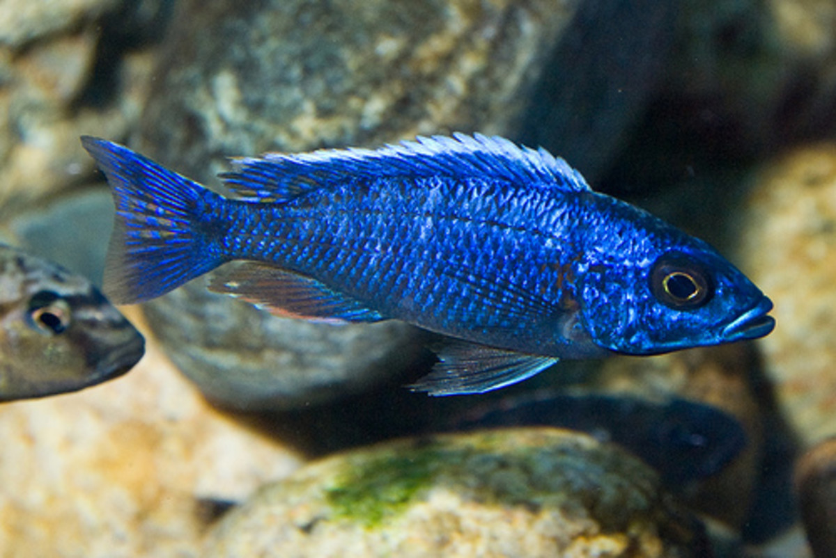 Some Of The Vital Information About Cichlid Fish
